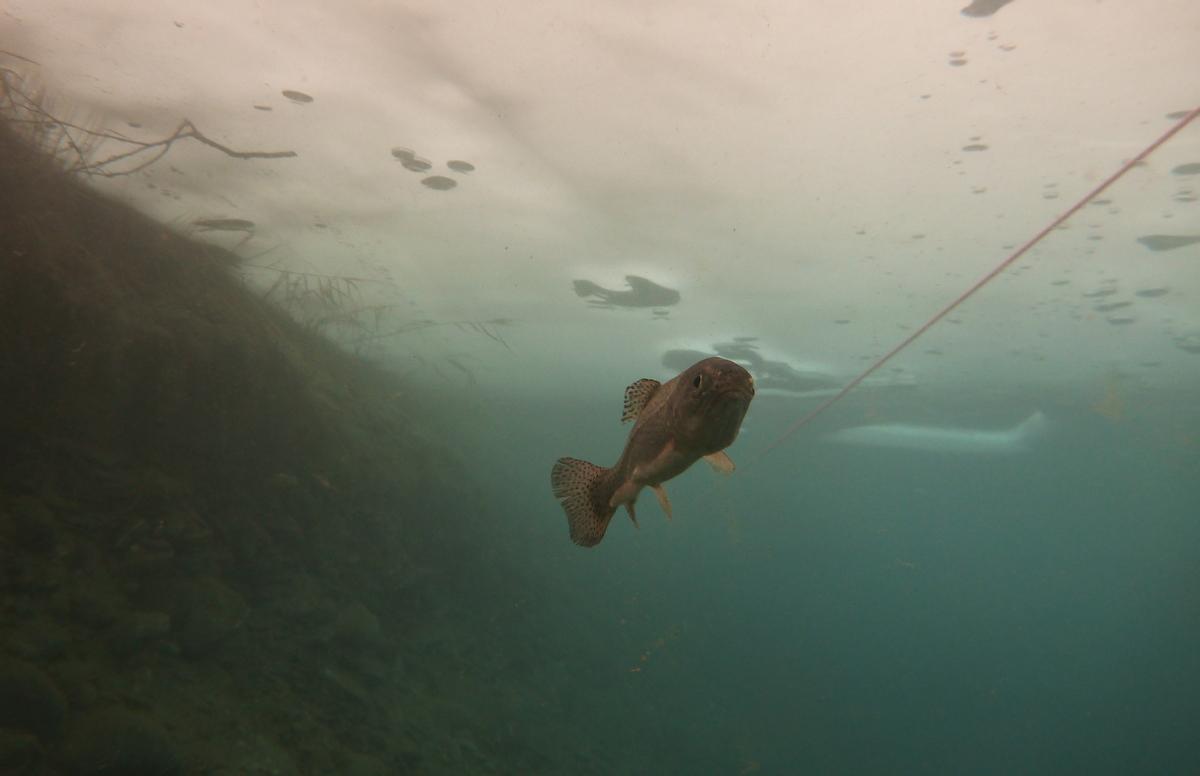 truite-plonge-sous-glace